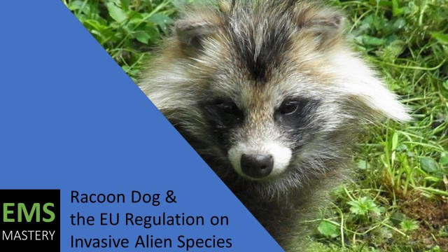 Racoon Dog + the EU Regulation on Invasive Alien Species